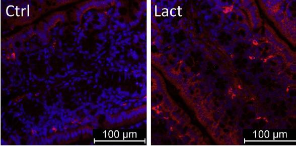 Images représentant le nombre des mastocytes (en rouge) observés chez des animaux témoins (CTRL) et les animaux traités par le lactose (Lact) ou soumis à un régime enrichi en fructo-oligosaccharides (FOS).